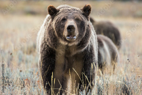 Fototapeta The famous grizzly bear 399 roaming in a field in Grand Teton National Park in Wyoming