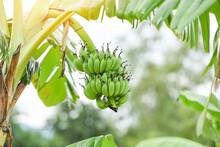 Green Bananas In The Garden On...
