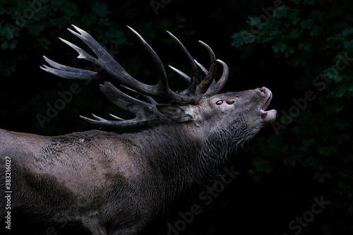 Fototapeta Red deer (Cervus elaphus)