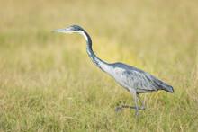 Grey Heron Standing In Green Grass In Amboseli In Kenya
