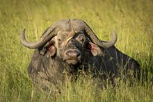 Horizontal Portrait Of A Buffalo Bull Lying In Green Grass In Masai Mara In Kenya
