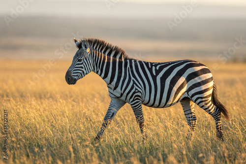 Naklejka premium Adult zebra walking through grass in warm morning sunlight in Masai Mara in Kenya