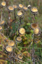 Beautiful Dry Inflorescences I...