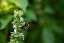 Bee Sucking Honey Of Hairy Basil In The Garden.
