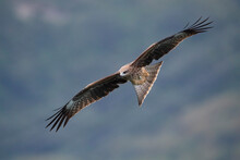 Black-eared Kite Fly