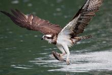 Osprey Catch Fish
