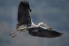 Grey Heron Bird Fly With Wings Spread
