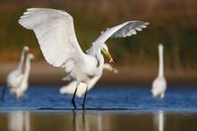 Great Egret Or White Heron. Bird. Ardea Alba.