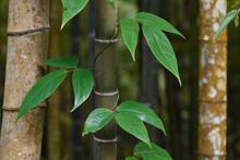 Close Up Of Bamboo