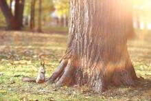 Squirrel In Autumn Forest, Wil...