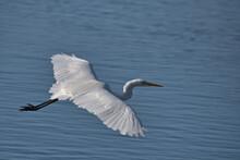 Great White Egret , Ardea Alba In Flight Over Water.