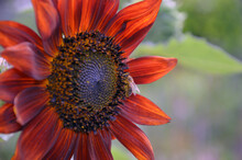 Beautiful Growing Sunflower Red Sun On A Nature Background Texture.