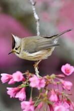 Bird In Pink Cherry Blossom Tree