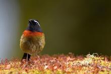 Taiwan Collared Bush Robin Bird