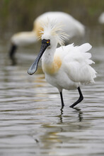 Black-faced Spoonbill Bird Stand In Water