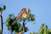 Young Red-footed Falcon Photog...