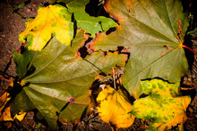 Late Fall. Rotten Leaves On The Ground.