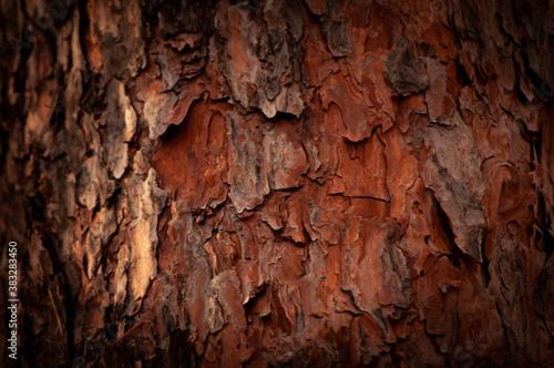 Fototapeta pine bark