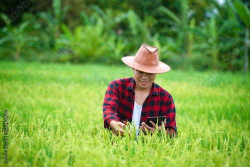 Fototapeta A farmer in a ripe wheat field plans a harvest activity, a male agronomist is happy in a rice field. obraz