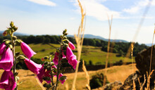 Wild Foxglove Flower, And Blur Hill, Mountains Background.