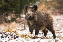 Wild Boar, Sus Scrofa, Standing On Meadow In Snowing Nature. Big Hairy Wild Mammal With Long Snout Looking With Interest On Field In Winter. Dirty Brown Animal Observing On White Grass.