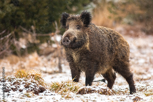 Fotografering Wild boar, sus scrofa, standing on meadow in snowing nature