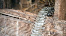When The Farm Wife Went To Gather Eggs From The Hen House, She Ran Across This Recently Shed Snakeskin Instead. Bokeh Effect.