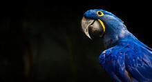 Hyacinth Macaw Portrait On Sunny