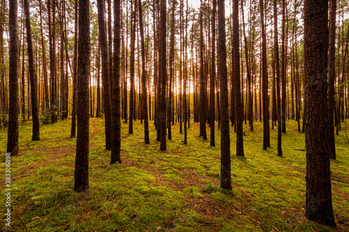Fototapeta Autumn forest with pine trees standing in rows. obraz
