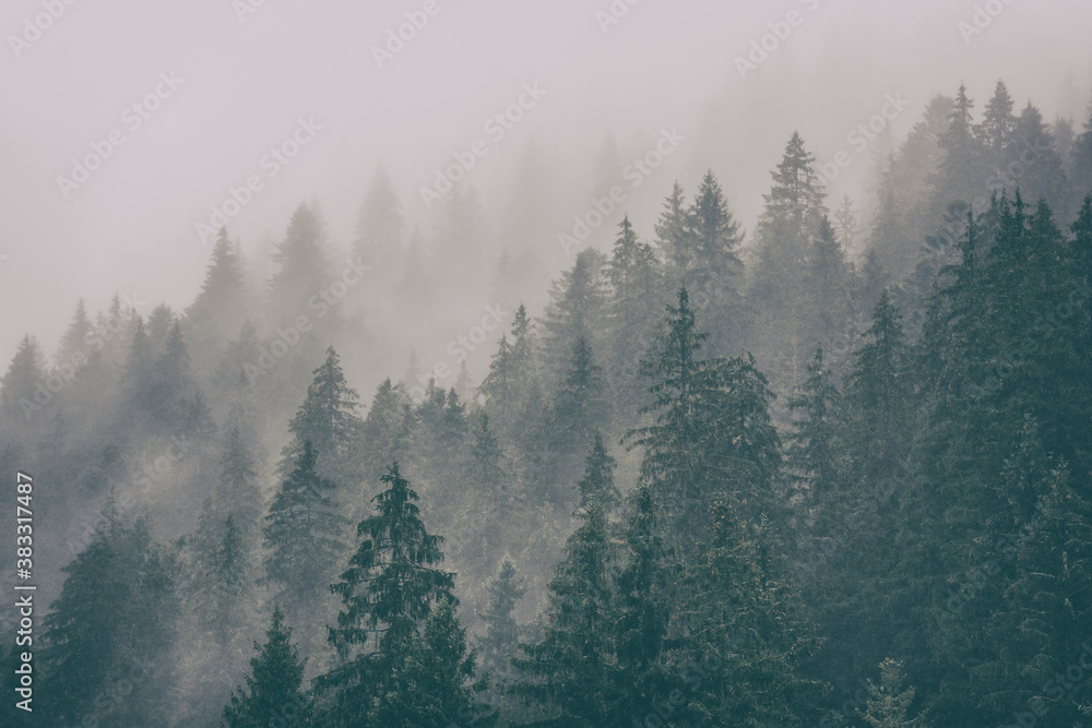 Fototapeta Misty landscape with fir forest, scenic view of treetops in clouds, natural background