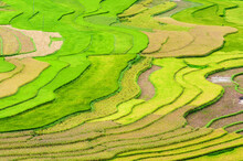 Colors Of Rice And Paddy In Mu...