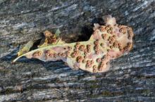 Eggs Of Gall Wasp Neuroterus Numismalis Below Oak Leave