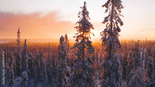 Obraz Aerial view from drone of snowy pines of endless coniferous forest trees in Lapland National park, bird's eye scenery  view of natural landmark in Riisitunturi on winter season at sunset golden light - fototapety do salonu