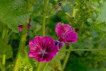 Purple Common Mallow Flowers In The Garden - Malva Sylvestris.