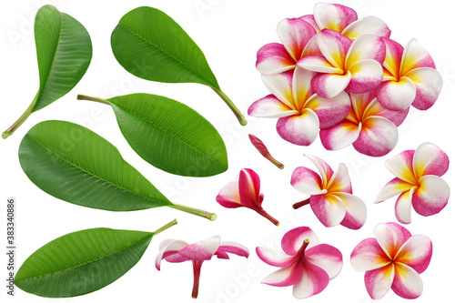 Fototapeta variety of plumeria flowers and leaves isolated on white background  obraz