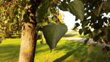 Close-up Of An Autumn Green Linden Leaf With Remnants Of Atmospheric Pollution Of The Urban Environment In The Shade Of A Tree Crown On A Sunny Evening In A City Park.