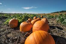 Pumpkin Patch. Field For Growi...