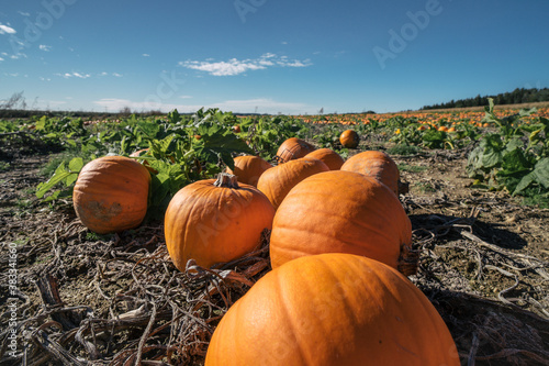 Pumpkin patch Fototapet