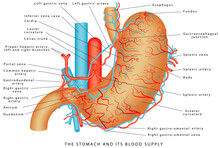 The Stomach And Its Blood Supp...