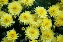 Yellow Mum (chrysanthemum) Flower Background