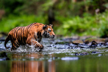 The Largest Cat In The World, Siberian Tiger, Hunts In A Creek Amid A Green Forest. Top Predator In A Natural Environment. Panthera Tigris Altaica.