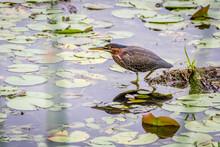 Bird In A Pond