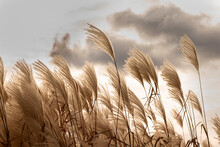 Pampas Grass Field