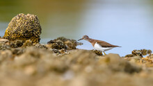 Close-up Portrait Of A Tiny Wader In A Lakeshore With Stones Overgrowned By Shells. Czech Republic. Common Sandpiper, Actitis Hypoleucos.
