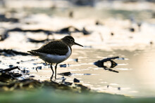 Close-up Portrait Of A Tiny Wader On The Lakeshore At Sunrise. Common Sandpiper, Actitis Hypoleucos.