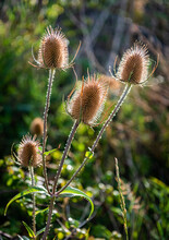 Teasels In The Sunshine