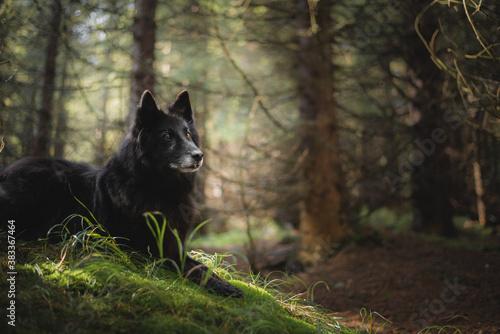 Old belgian shepherd groenendael dog portrait in the forest