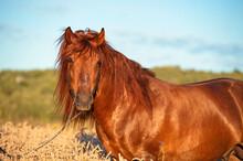 Portrait Of Chestnut  Stallion...