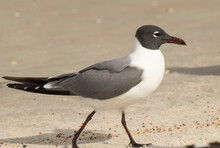 A Laughing Gull On The Beach And At St Augustine, Florida.