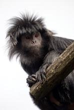 Javan Langur (Trachypithecus Auratus), Also Known As The Javan Lutung, Ebony Langur, And Ebony Leaf Monkey